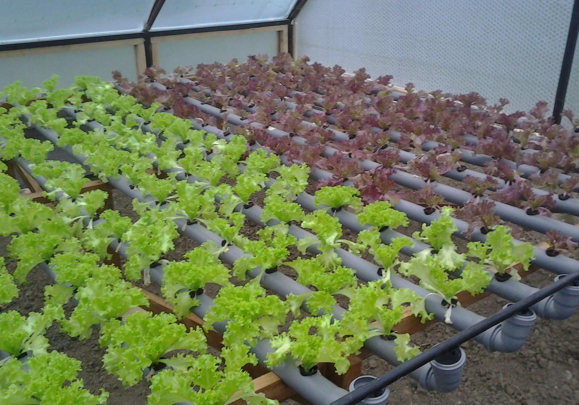 Выращивание укропа в теплице 60